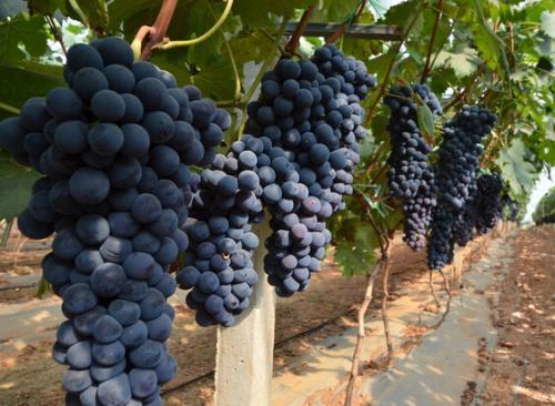 葡萄家果实成熟时:现代美式。